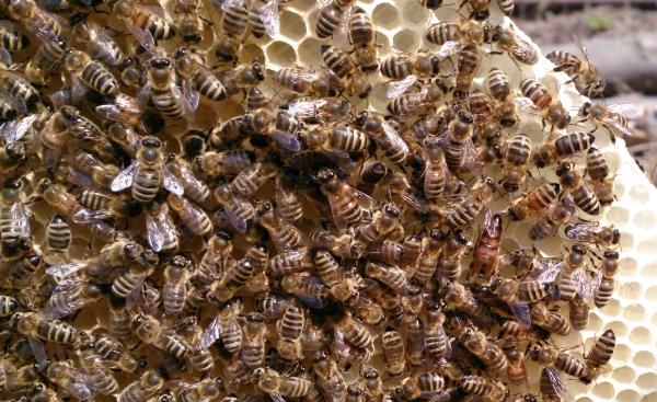 Bienenwabe-600px